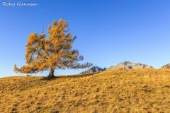 Il larice solitario dell'alpe Granda