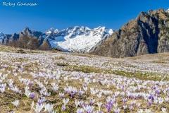Fioriture di Crocus all'alpe Granda, sullo sfondo i pizzi del Ferro della Valmasino
