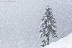 Abete solitario durante una nevicata in val Caldenno