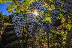Sole tra i grappoli d'uva