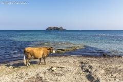 Mucca sulla spiaggia di Barcaggio a Cape Corse