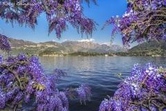 Glicine fiorito di fronte a Bellagio