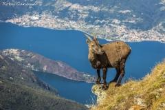 Stambecco sul monte Legnone a sbalzo sul lago di Como