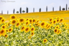 Girasoli nei campi toscani