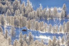 Baita isolata tra file di larici nei pressi dell'alpe Culino