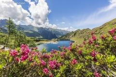 Rododendri al lago di Pescegallo