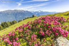 Fioriture di rododendri alla Motta di Olano