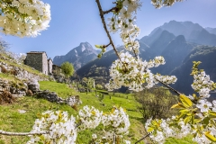 Ciliegi fioriti ad Avedee m 790 in val Codera