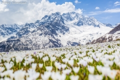 Fioriture di Crocus all'alpe dell'Oro e il monte Disgrazia